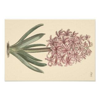 Garden Hyacinth Botanical Illustration Photograph