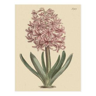Garden Hyacinth Botanical Illustration Postcard