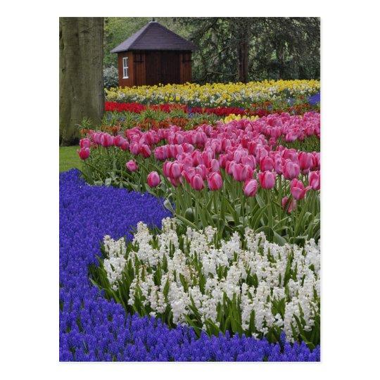 Garden of grape hyacinth, hyacinth and tulips, postcard