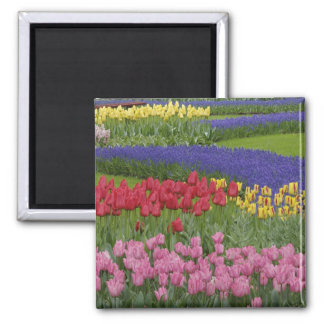 Garden of tulips, Grape Hyacinth and Magnet