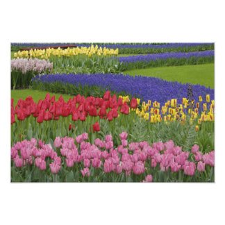 Garden of tulips, Grape Hyacinth and Photo Print