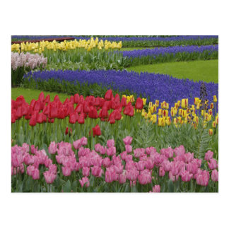 Garden of tulips, Grape Hyacinth and Postcard
