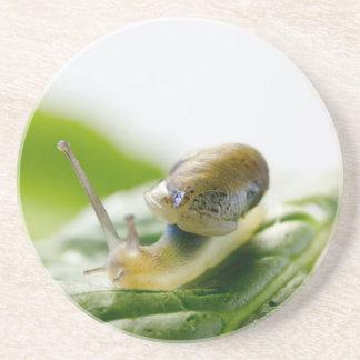 Garden snail on radish, California Coaster