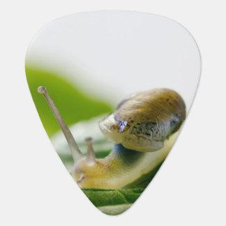 Garden snail on radish, California Plectrum