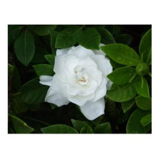 Gardenia Postcard