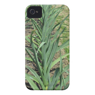 Garlic plants in rows in the garden iPhone 4 cover