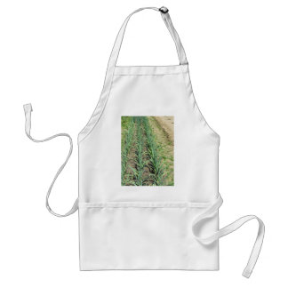 Garlic plants in rows in the garden standard apron