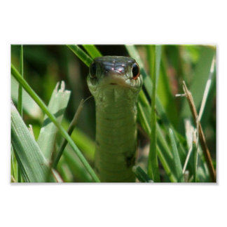 Garter Snake in the Grass Poster