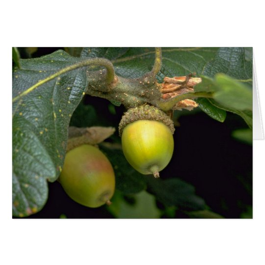 Gary oak tree fruit (quercus garryana) card