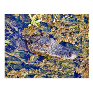 Gator Aligators Swamps Postcard