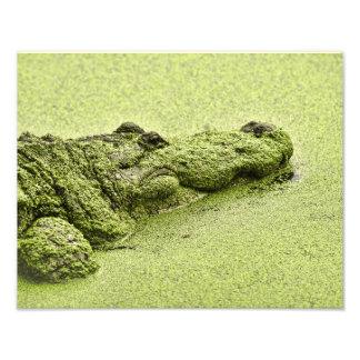 Gator - Green In Duckweed Photographic Print