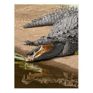 Gator Portrait  with Mouth Wide Open Postcard