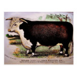 Gauci Hereford Cattle Postcard