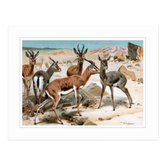 Gazelle Postcard