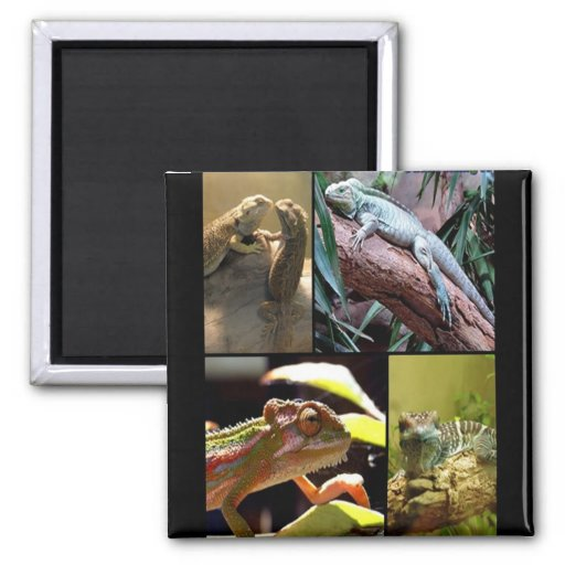 Gecko lizards and Chameleons Square Magnet