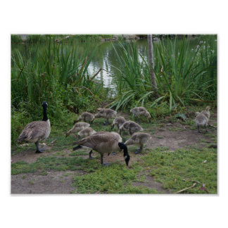 Geese and Goslings Poster