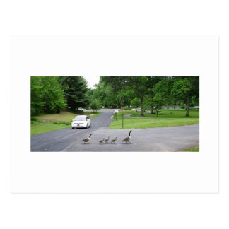 Geese and Goslins Postcard