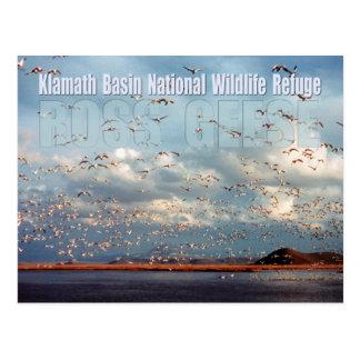 Geese at Klamath Basin National Wildlife Refuge Post Card