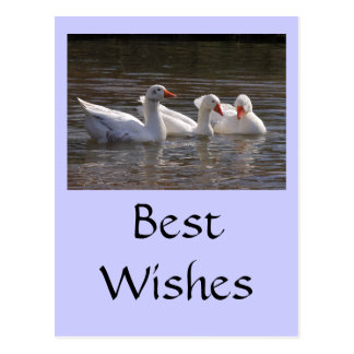 Geese in the Duckpond Postcard