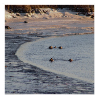 Geese in the Icy Water at the Refuge Photo Poster