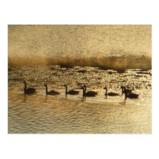 Geese on Golden Pond Postcard