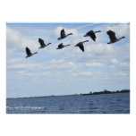 Geese over Jamica Bay Posters