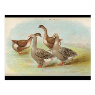 Geese Postcards