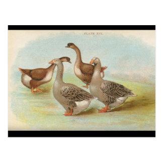 Geese Postcard