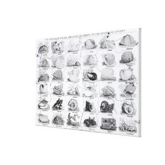 Genera of Shells jigsaw, pub. by W. Edwards Canvas Print