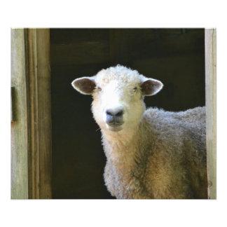 Gentle Sheep Photograph