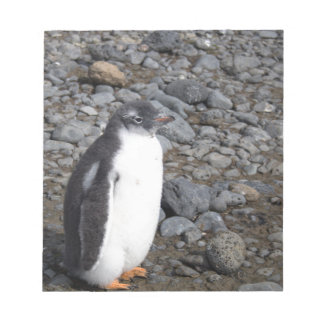 Gentoo penguin chick at Brown Bluff Notepad