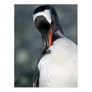 Gentoo Penguin in Neko Harbor Antarctica Post Card