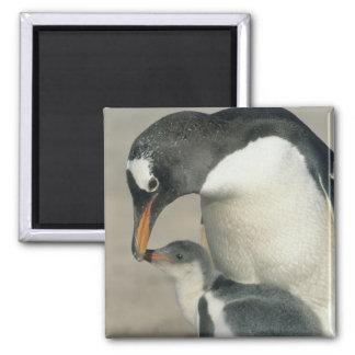 Gentoo Penguin, (Pygoscelis papua), adult Fridge Magnet