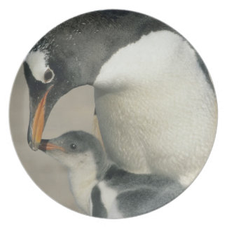 Gentoo Penguin, (Pygoscelis papua), adult Plate