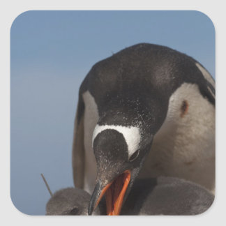 Gentoo Penguin (Pygoscelis papua) and chick 2 Square Sticker