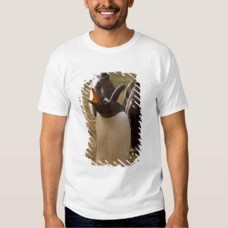 gentoo penguin, Pygoscelis papua, calling, Shirts