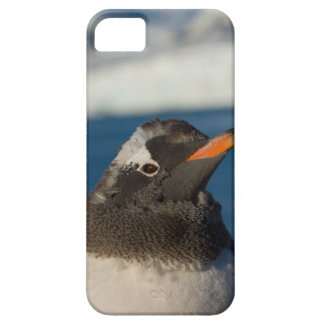 gentoo penguin, Pygoscelis Papua, chick along Barely There iPhone 5 Case