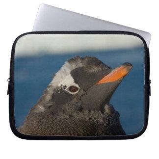 gentoo penguin, Pygoscelis Papua, chick along Laptop Sleeve