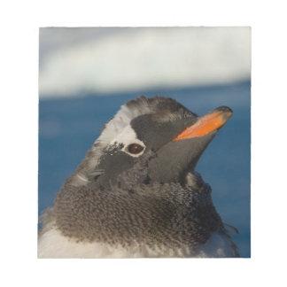 gentoo penguin, Pygoscelis Papua, chick along Notepad