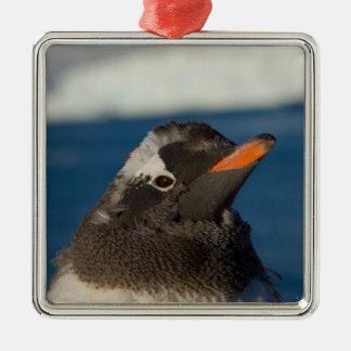 gentoo penguin, Pygoscelis Papua, chick along Silver-Colored Square Decoration