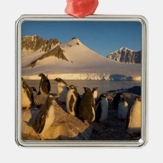 gentoo penguin, Pygoscelis Papua, colony along Silver-Colored Square Decoration