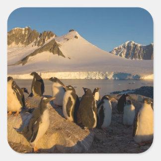 gentoo penguin, Pygoscelis Papua, colony along Square Sticker