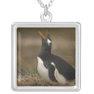 Gentoo Penguin (Pygoscelis papua) colony on the Silver Plated Necklace