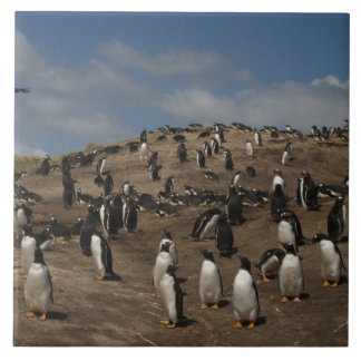 Gentoo Penguin (Pygoscelis papua) colony on West Tile