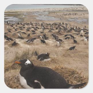 Gentoo Penguin (Pygoscelis papua) colony, West 2 Square Sticker