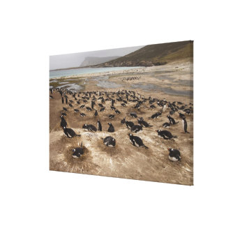 Gentoo Penguin (Pygoscelis papua) colony, West Canvas Prints