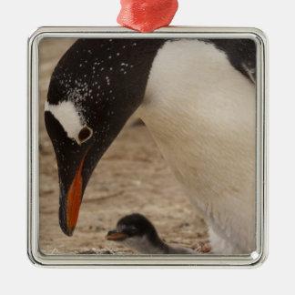 Gentoo Penguin (Pygoscelis papua) feeding a Christmas Ornament