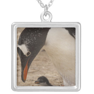 Gentoo Penguin (Pygoscelis papua) feeding a Silver Plated Necklace