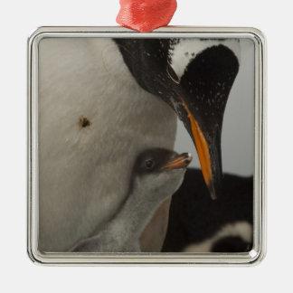 Gentoo Penguin (Pygoscelis papua) feeding chick, Silver-Colored Square Decoration