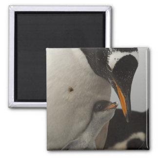 Gentoo Penguin (Pygoscelis papua) feeding chick, Square Magnet